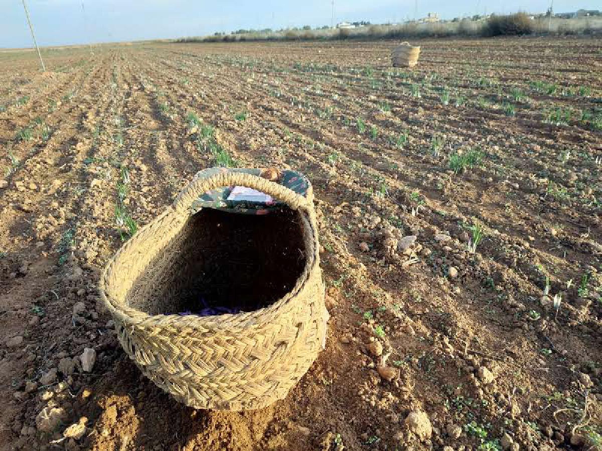 champ de safran recolte