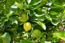 feuille de citronnier